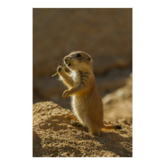 Baby prairie dog eating, Arizona Poster