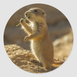 Baby prairie dog eating, Arizona Round Sticker