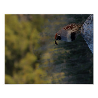 Baby Quail Poster