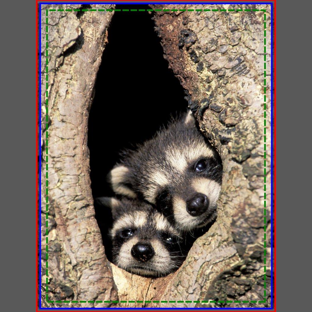 Raccoons Babies For Sale Baby Raccoons in Tree Cavity
