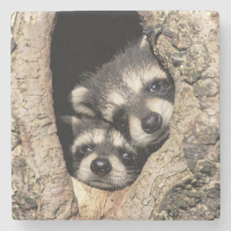 Baby raccoons in tree cavity Procyon Stone Coaster
