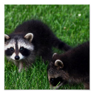 Baby Raccoons  Poster