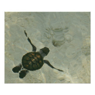 Baby Sea Turtle Swimming Out To Sea Poster