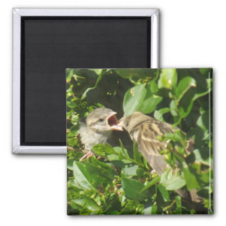 Baby Sparrow Feeding Time Magnet