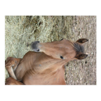 Baby Welsh Pony Postcard