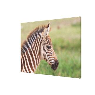 Baby zebra head, Tanzania Canvas Print