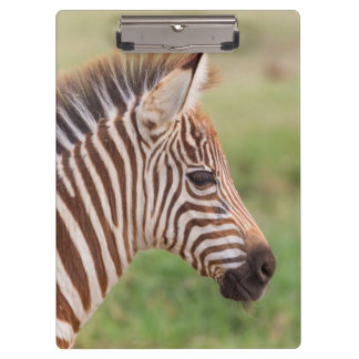 Baby zebra head, Tanzania Clipboard