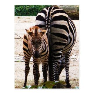 Baby Zebra Postcard