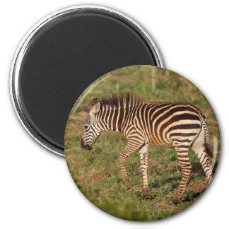 Baby Zebra walking, South Africa 2 Inch Round Magnet