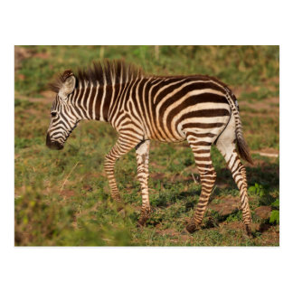 Baby Zebra walking, South Africa Postcard