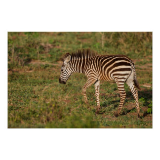 Baby Zebra walking, South Africa Poster
