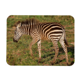 Baby Zebra walking, South Africa Rectangular Photo Magnet