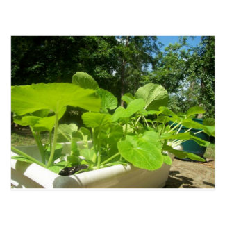 Baby zucchini plants in the front porch garden postcard