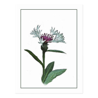 Bachelor Button Botanical Photo-Sketch Postcard