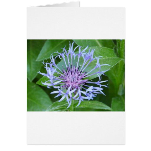 bachelor button greeting cards