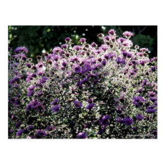 Backlit Asters Postcard