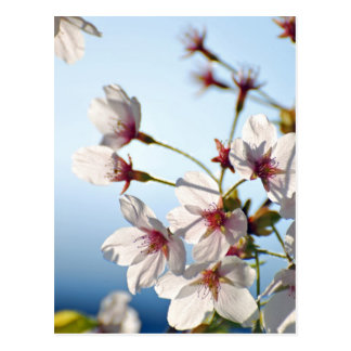 Backlit Cherry Blossoms Postcard