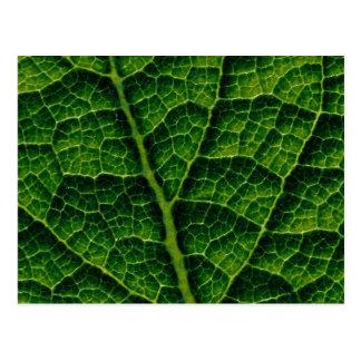 Backlit skunk cabbage leaf texture postcard