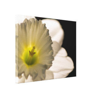Backlit White Daffodil Flower Canvas Print