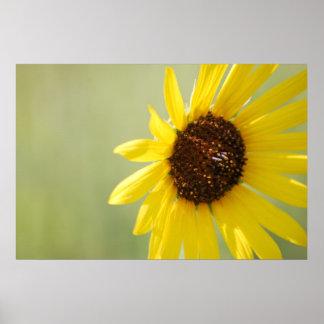 Backlit Wild Sunflower Canvas Poster