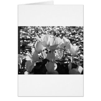 Backlits white cyclamen flowers on dark background card