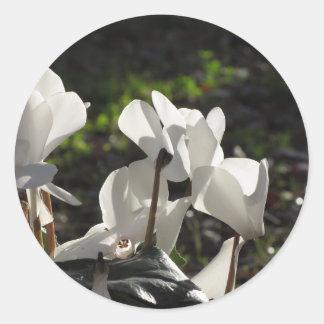 Backlits white cyclamen flowers on dark background classic round sticker