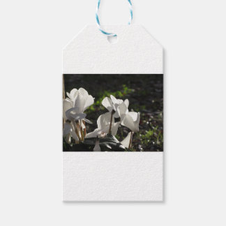 Backlits white cyclamen flowers on dark background gift tags