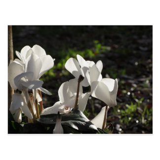 Backlits white cyclamen flowers on dark background postcard
