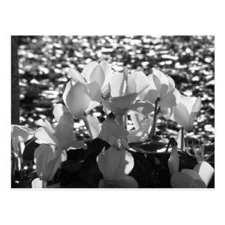 Backlits white cyclamen flowers on dark background postcard
