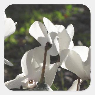 Backlits white cyclamen flowers on dark background square sticker