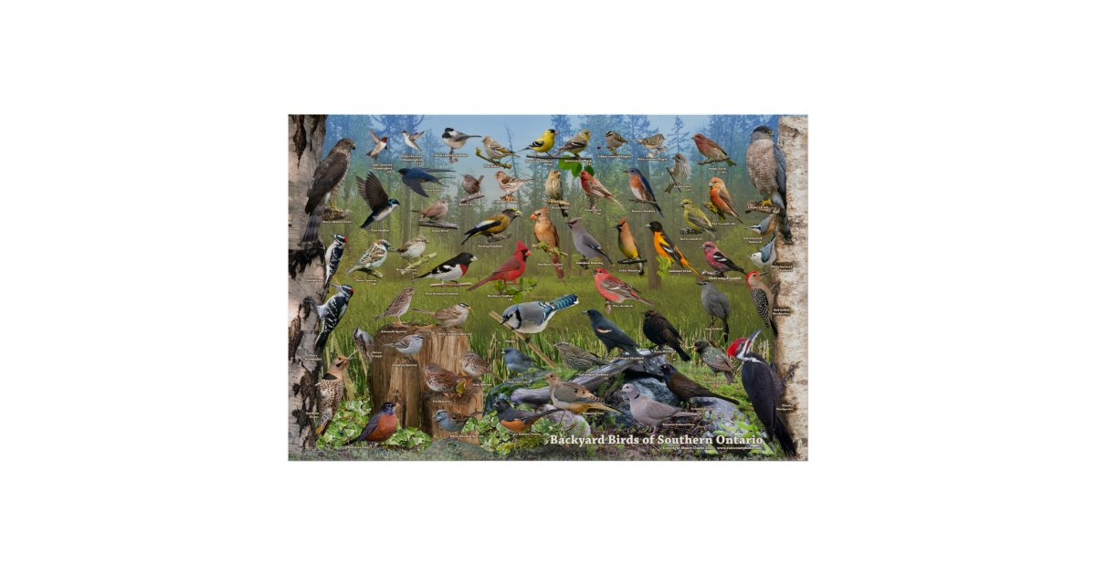 Backyard Birds of Southern Ontario Poster   Zazzle.ca