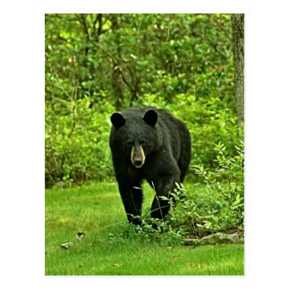 Backyard Black Bear Postcard