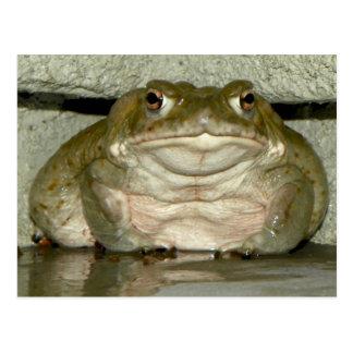 Backyard Bufo alvarius - Colorado River Toad Postcard