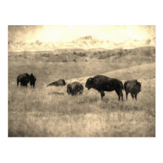 Badlands Bison Postcard
