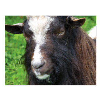 Bagot Goat | Rare Breed Postcard