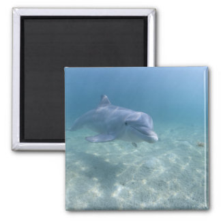 Bahamas, Grand Bahama Island, Freeport, Captive 3 Square Magnet