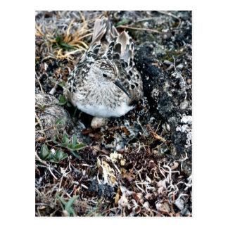 Baird's Sandpiper on Nest Postcard