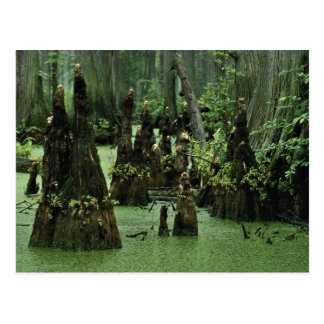 Bald cypress knees rising from swamp water postcard