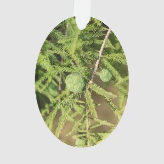 Bald Cypress Seed Cone