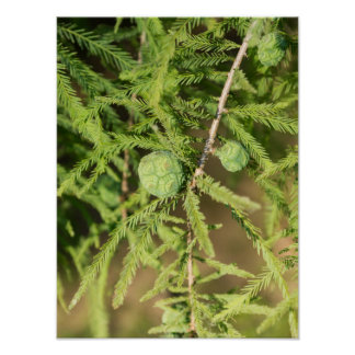 Bald Cypress Seed Cone Poster
