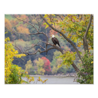 Bald Eagle Autumn Photo Print