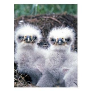 Bald Eagle Chicks Postcard