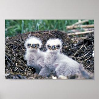 Bald eagle chicks poster
