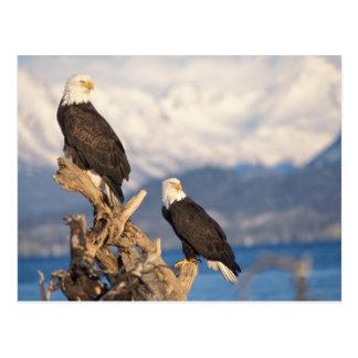 bald eagle, Haliaeetus leuccocephalus, pair Postcard