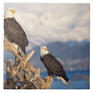 bald eagle, Haliaeetus leuccocephalus, pair Tile