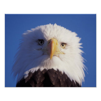 bald eagle, Haliaeetus leucocephalus, head shot, Poster