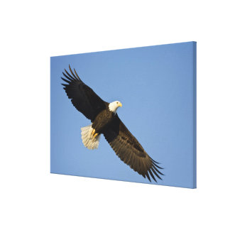 Bald Eagle, Haliaeetus leucocephalus, Homer, 4 Canvas Print