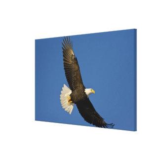 Bald Eagle, Haliaeetus leucocephalus, Homer, Canvas Print