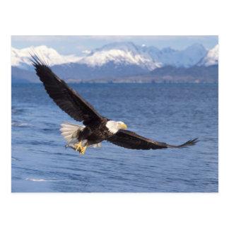 bald eagle, Haliaeetus leucocephalus, in flight 4 Postcard
