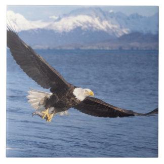 bald eagle, Haliaeetus leucocephalus, in flight 4 Tile